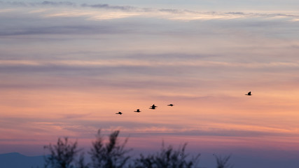 Black duck flying in the sky during sunset in Porto Lagos, Rodopi, Greece