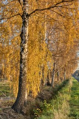 a row of golden birches