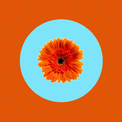 flower margerite orange closeup isolated on pop art background. Trendy minimal style and colors orange blue