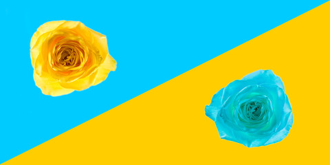 flower rose yellow closeup isolated on pop art background. Trendy minimal style and colors yellow blue