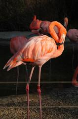 bright orange flamingo