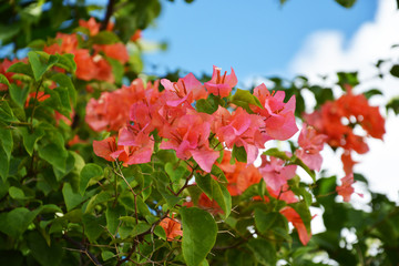 spring, flower, tree, blossom, nature, sky, bougainvillea, bloom, cherry, flowers, blue, plant, white, blooming, green, pink, garden, beauty, beautiful, apple, season, leaf, petal, floral, natural