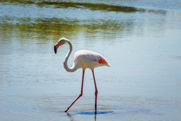 .Pink flamingo searches for food in shallow water.