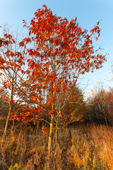 autumn tree with red leaves in the sunset light