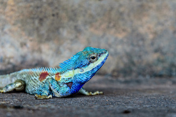 Close-up head Indo-Chinese forest lizard or Calotes Mystaceus on the old grunge cement wall background