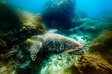 Big turtle between reefs