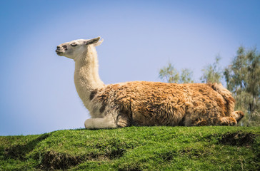 llama on the hill
