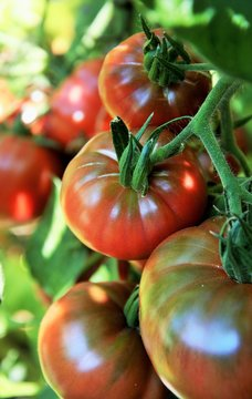 Ripe beefsteak tomatoes on the plant