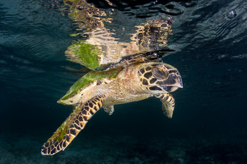 Hawksbill Sea Turtle at Surface in Raja Ampat