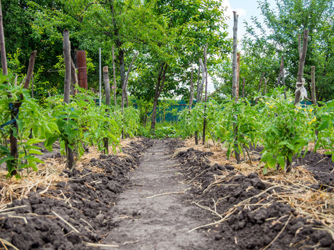 Rows of tomato bushes tied to pegs and straw mulched