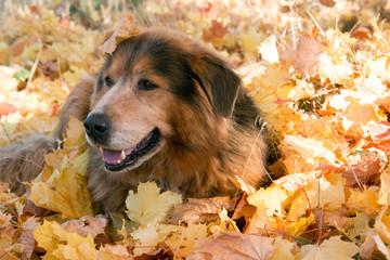Hunde Senior liegt im leuchtendem Herbstlaub