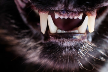 A horizontal black and white shot of the front teeth and fangs of a cat for three years old. Open mouth of a cat