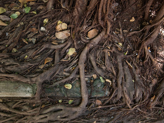 Banyan  is a tree with a branch, with the ground rooted to the ground.