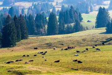 Kuhweide, Allgäuer Alpen, Bayern, Deutschland