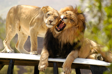 Male lion not in the mood while female lioness tries to show him some affection.