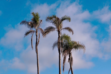 Three palms trees seen in front of a bright blue sky with wispy white clouds in it