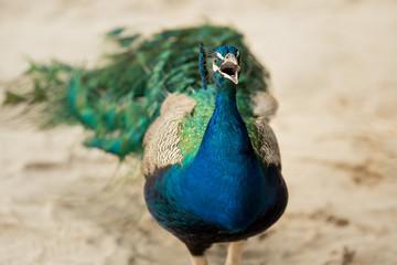 Peacock on a sandy beach in the Mexican Caribbean