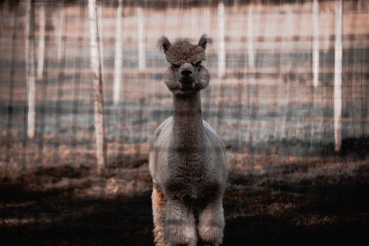 Cute llama in zoo