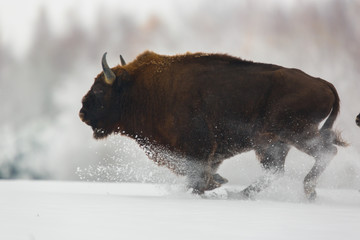 Europese bizon - Bison bonasus in het Knyszyn-woud (Polen)