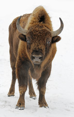 Massive wild isolated bison in the snow