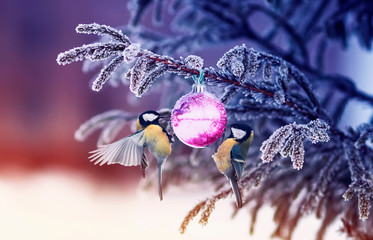 natural winter background with beautiful birds tits hang on a shiny glass ball on a Christmas tree with shiny hoarfrost in the park