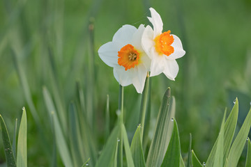 two white narcissus