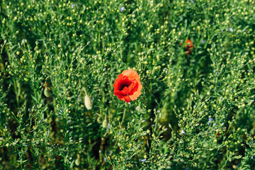 A single red poppy growing in a field in France, from above looking down