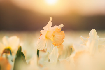 Door stickers Narcissus Colorful blooming flower field with white Narcissus or daffodil closeup during sunset.