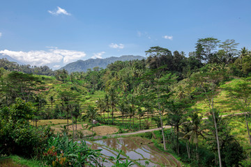 Landscape of young watered ricefield with some coconut palm in Bali island. View to the mountain.Amazing Rice Terrace Fields and some Palm Trees Around, Ubud, Bali, Indonesia