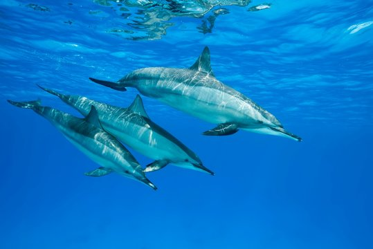 Spinner Dolphins (Stenella longirostris), female with two teeny dolphins swim in the blue water reflecting off the surface, Red Sea, Sataya Reef, Marsa Alam, Egypt, Africa