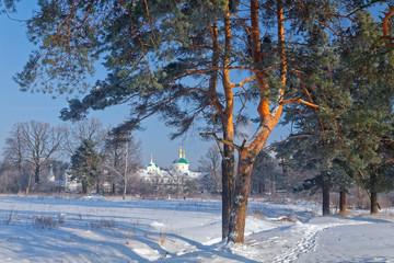 Pine forest, winter