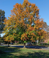 Residential neighborhood fall sycamore tree under blue sky.