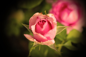 Rosa pink rouse