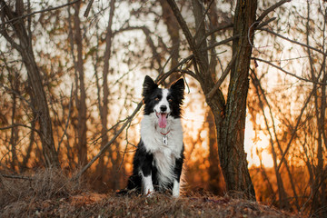 border collie dog in autumn forest beautiful sunset