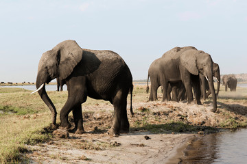 A herd of elephants approaches a waterhole in Etosha national park. Northrtn Namibia, Africa