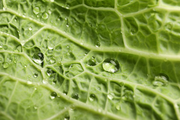 Green leaf of savoy cabbage as background, closeup