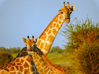 Giraffes on the Kalahari Plains