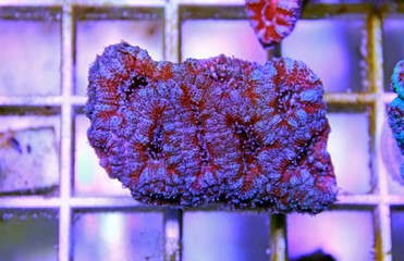 Acanthastrea lordhowensis LPS coral