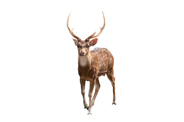 Spotted deer or Axis deer isolated on white background