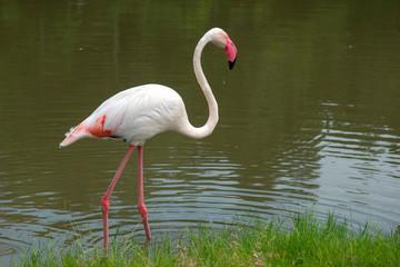 Flamingo  walking in nature.