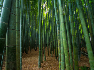 Walking through a Bamboo Forest in Japan
