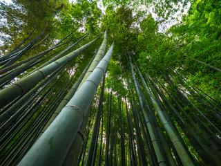 The tall bamboo trees of Kamakura - a wonderful place