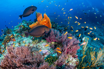 Wall Mural - Schools of tropical fish swimming around a colorful, healthy tropical coral reef