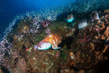 Wall Mural - Huge Pharaoh Cuttlefish on a colorful tropical coral reef at dusk