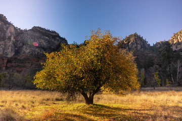 Sedona,  Arizona, a tree changing in fall colors.