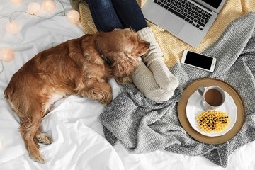 Cute Cocker Spaniel dog with warm blanket lying near owner on bed, top view. Cozy winter