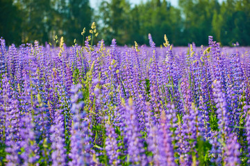Blooming field of purple flowers under the rays of the summer sun