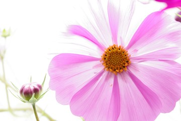 コスモスの花とつぼみ
