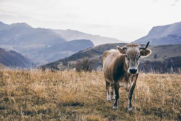 Happy cow grazing outdoor in autumn, Bosnia and Herzegovina