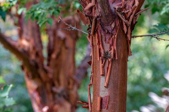Paperbark Maple Closeup